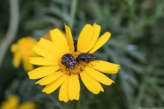 04Chrysanthemum