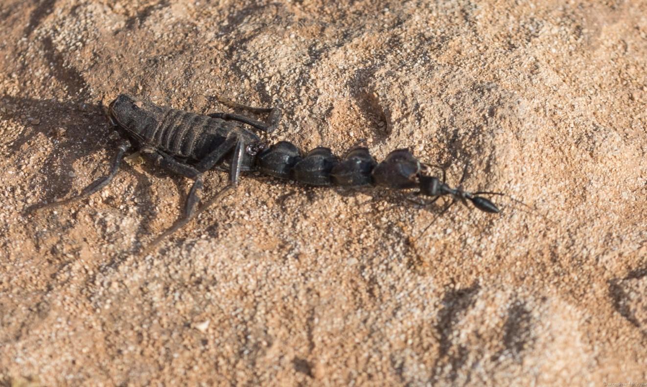 6D_Black-Ant0039-2