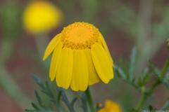 01Chrysanthemum