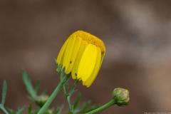 03Chrysanthemum