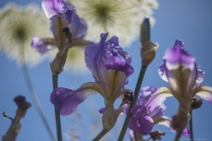 02-Iris-Mesopotamica
