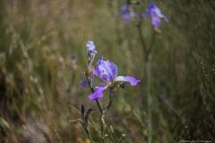 03-Iris-Mesopotamica