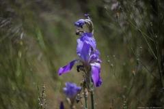 04-Iris-Mesopotamica