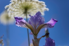 06-Iris-Mesopotamica