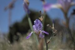 07-Iris-Mesopotamica
