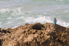 1000D_Kingfisher0062-2