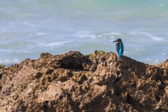 1000D_Kingfisher0063-2