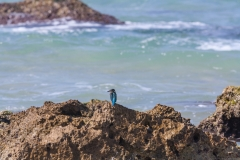 1000D_Kingfisher0063