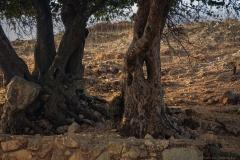 Yodfat_Trees-01