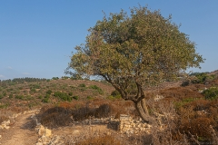 Yodfat_Trees-02