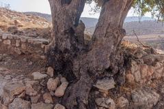 Yodfat_Trees-03