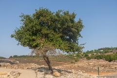 Yodfat_Trees-04